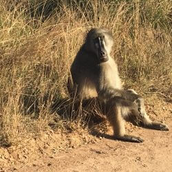 Baboon sitting on the side of the road.